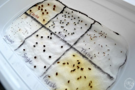 how to pre germinate seeds